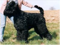 schwarzer russe hund